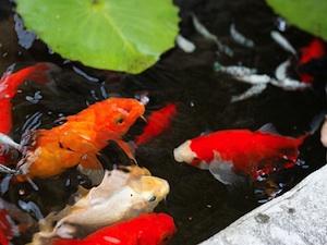 Entretien d 39 un bassin de jardin for Poisson rouge en bassin exterieur