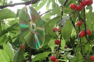 Compact Disc effaroucheur dans un cerisier
