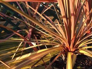 Cordyline Australis pink stripe