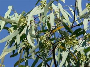 Feuillage d'eucalyptus