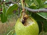 Oiseaux, guêpes, fourmis... protégez les récoltes du verger