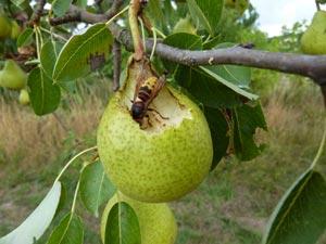 Frelon dévorant une poire