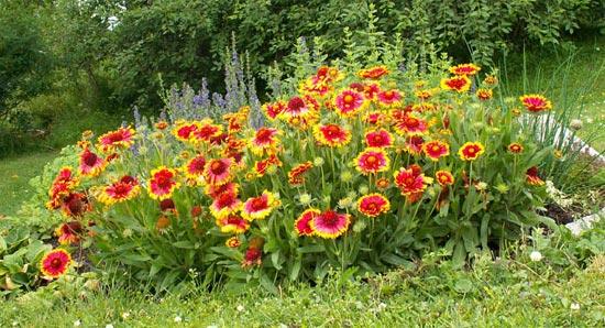 Gaillarde for Plants de fleurs vivaces