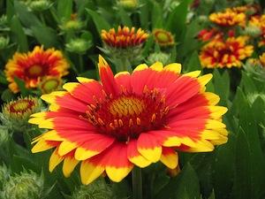 Gaillarde : fleurissez votre jardin tout l'été