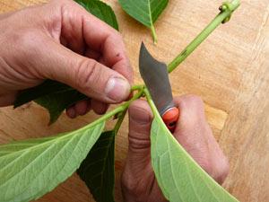 Suppression des feuilles en partie basse