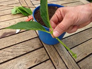 Bouture prête pour plantation