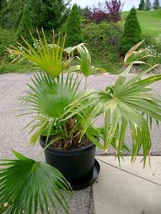 Livistona : un palmier d'intérieur à bien arroser