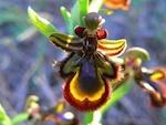 Les orchidées sauvages, méconnues et menacées