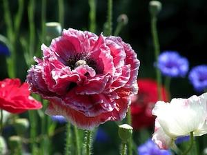 Pavot d'Orient à fleur double