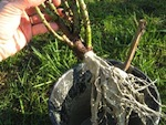 Planter un rosier à racines nues