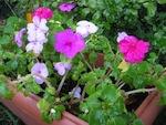 Rempoter les plantes semi-rustiques