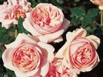 Laurette Fugain, une nouvelle rose à découvrir