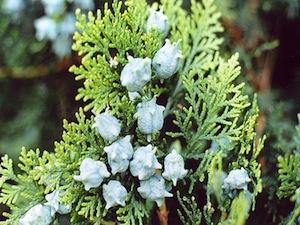 Thuja orientalis : feuilles et fruits