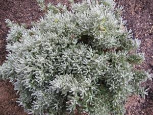 planter une santoline