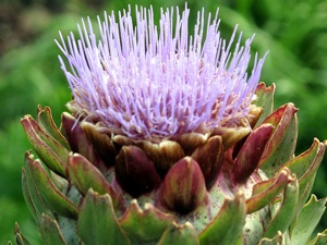 plantation et culture de l'artichaut