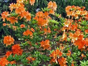Rhododendron mollis 'Lemorara'