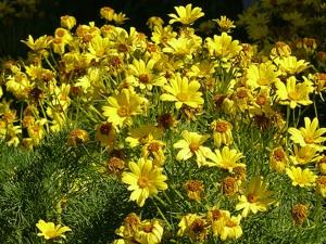 Coréopsis : semis et associations réussies