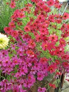 Coreopsis 'Limerock Passion' et 'Limerock Ruby'