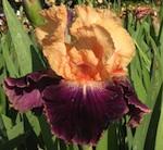 'Fashion Queen' - Iris en Provence