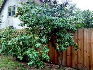 Kumquat cultivé en pleine terre