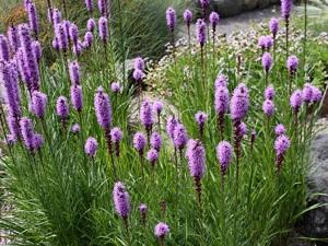 Liatris : une plante pleine d'attrait facile à cultiver