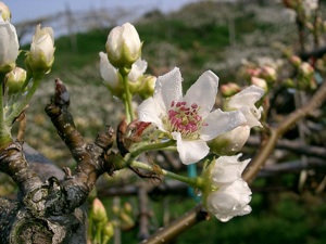 Nashi - fleur