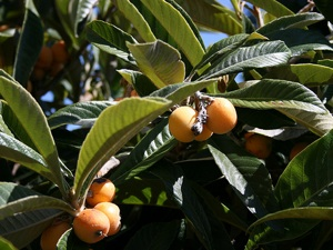 Néflier du Japon : conseils de culture, plantation, variétés