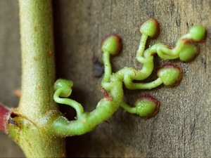 Coussinet adhésif de Parthenocissus tricuspidata