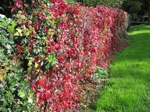 Parthenocissus quinquefolia habillant un mur (automne)
