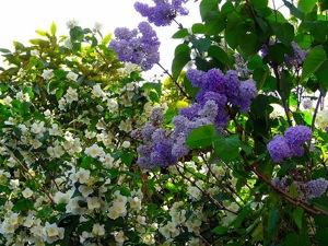 Arbuste en fleurs : conseils de plantation