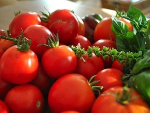 Récolte de tomates et basilic