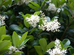 Troène- fleurs