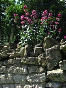 Valériane poussant sur un mur