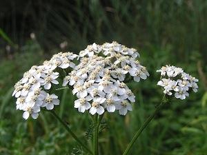 Fleurs comestibles - vivaces et bisannnuelles d'automne
