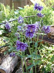 Ancolies à fleurs doubles