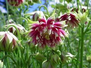 Aquilegia vulgaris l élégante des jardins