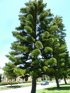 Araucaria columnaris