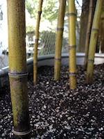 Bambou noir - 2e année