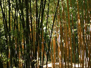 Bambous noir et jaune