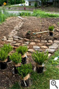 Plantation d'une bordure de buis