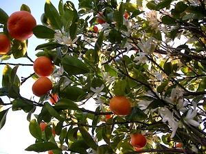 Calamondin - fleurs et fruits