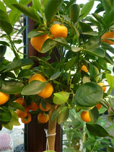 Oranger calamondin for Arbre decoratif interieur