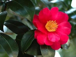 Camellia sasanqua - fleur