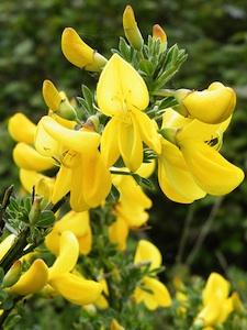 Cytisus scoparius - fleur