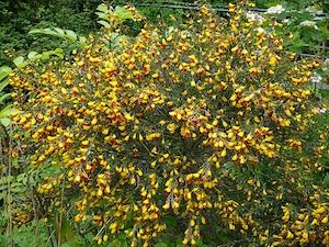 Cytisus scoparius jaune et pourpre