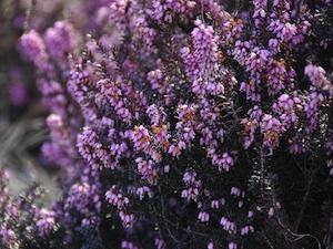 Bruyère d'hiver : fleurie de novembre à mai, même s'il fait froid !