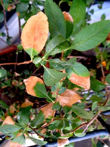 Feu bactérien sur feuilles de chaenomeles