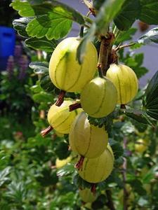 Groseillier à maquereau : plantation, taille, multiplication