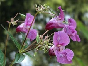 Impatiens glandulifera - fleurs