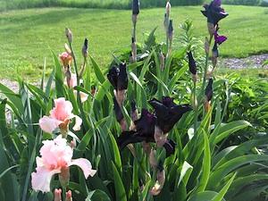 Iris noirs